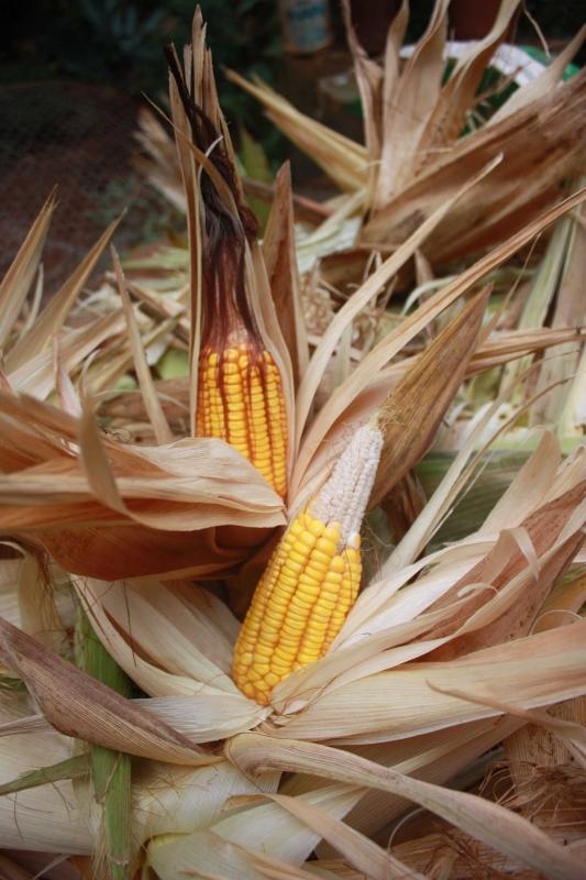En_Yucatn_an_persiste_el_cultivo_de_milenarias_semillas_criollas